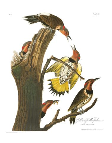 gold-winged_woodpecker.jpg