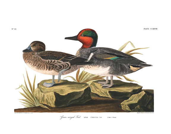 green-winged_teal.jpg