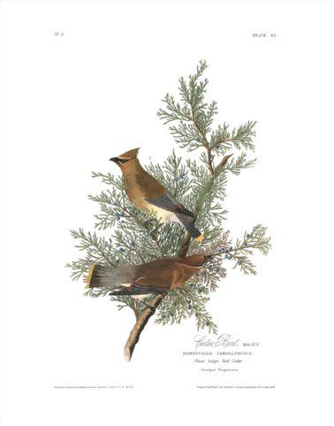 cedar_bird.jpg