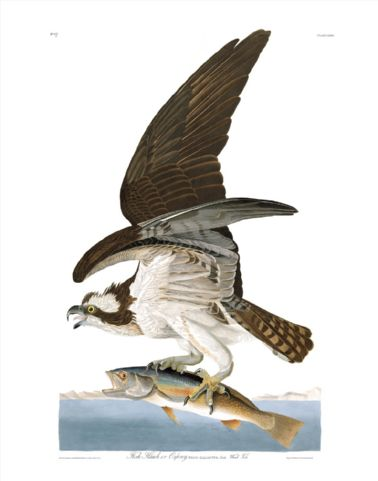 fish_hawk_or_osprey.jpg