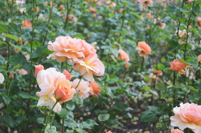 rosegardencoral.jpg