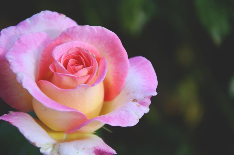rosegardenperfect.jpg