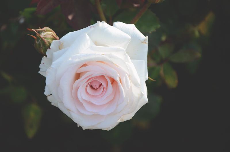 rosegardenpink.jpg