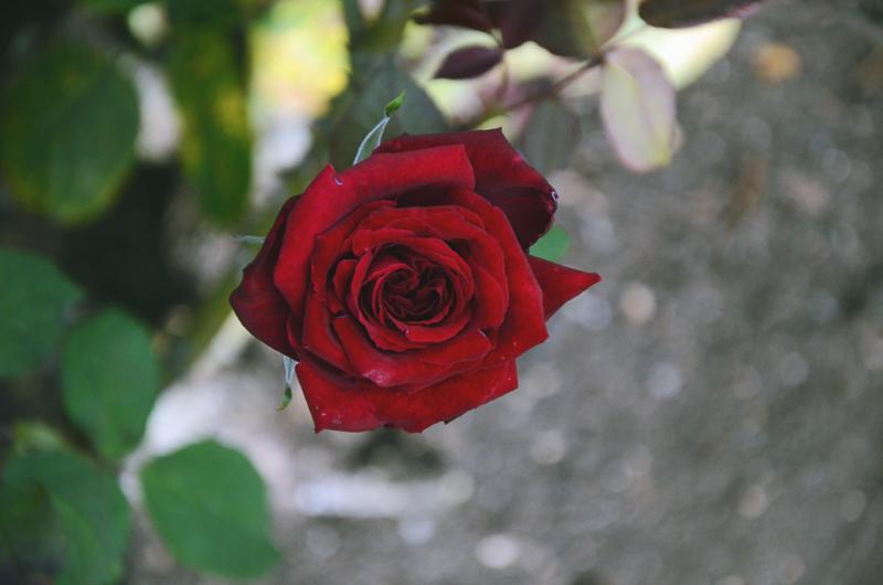 rosegardenred.jpg