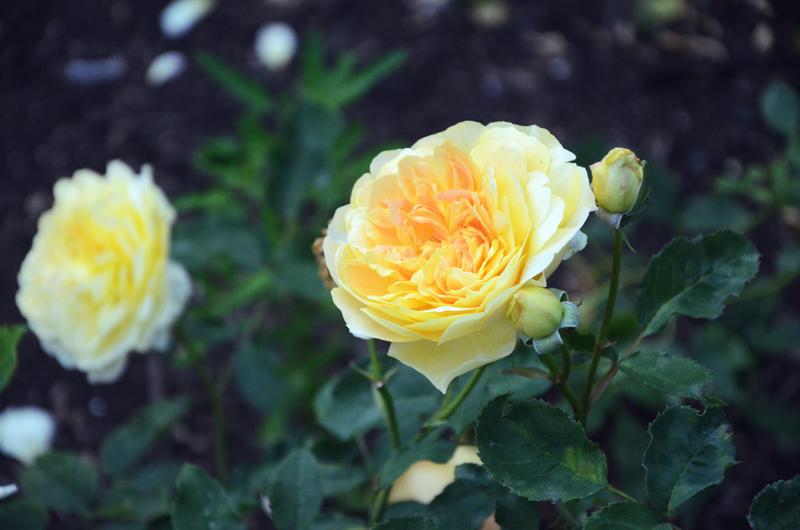rosegardenyellow.jpg