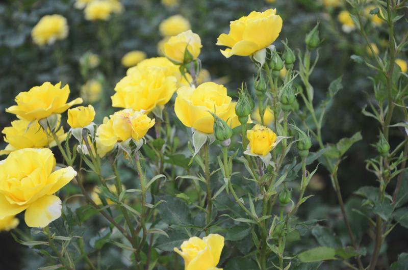 rosegardenyellows.jpg