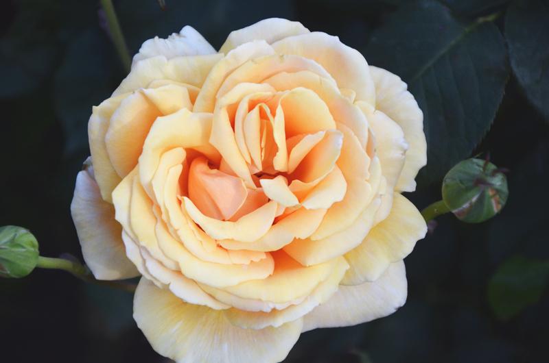 roseorange.jpg