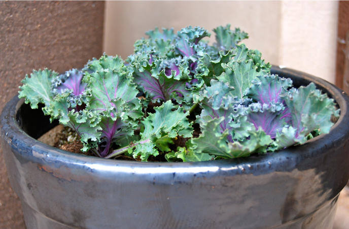 homegrownkale.png