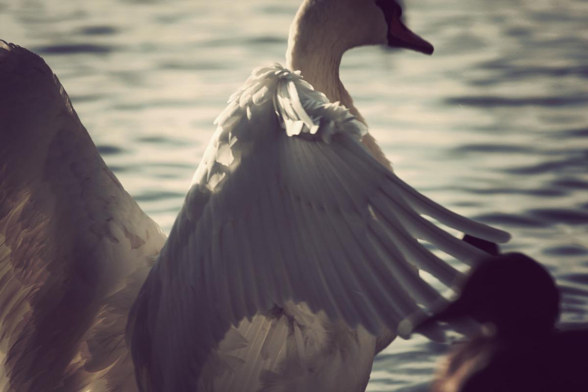 sortedams swan_01.jpg