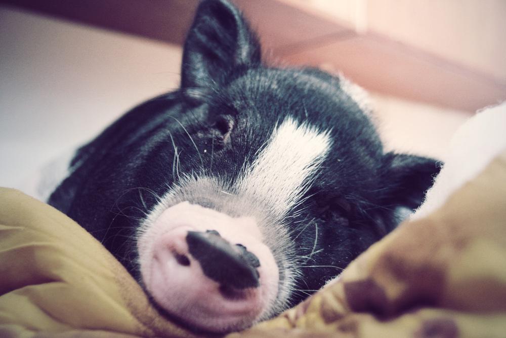 Grynte the Pig.