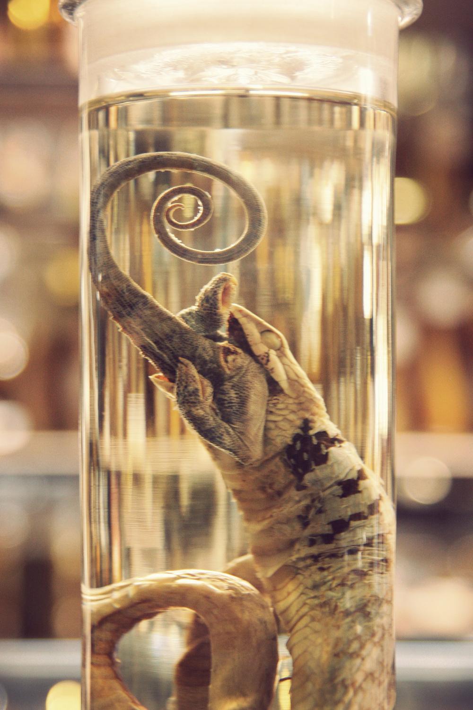 Snake-Eating-Lizard.jpg
