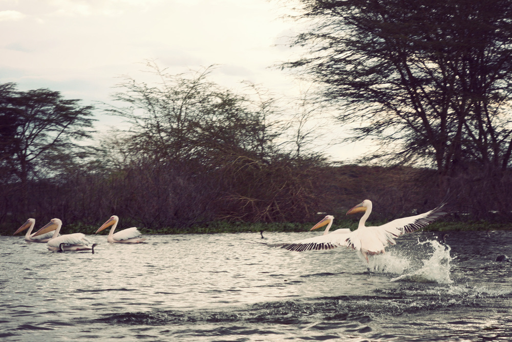 Day03_SOPA_Boat-Safari_Pelicans.jpg