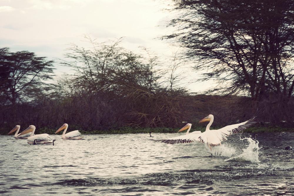 Day03_SOPA_Boat-Safari_Pelicans.jpg