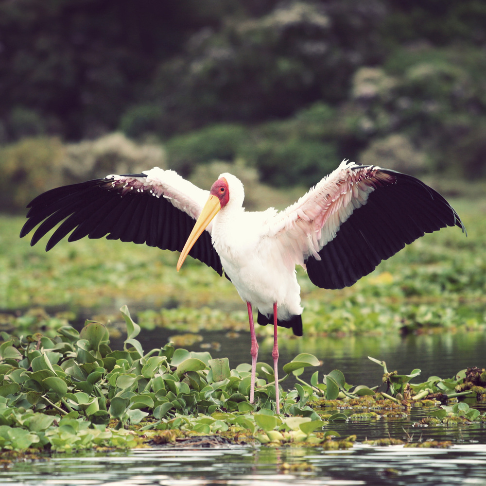 Day03_SOPA_Boat-Safari_Yellow-Billed-Stork_01.jpg
