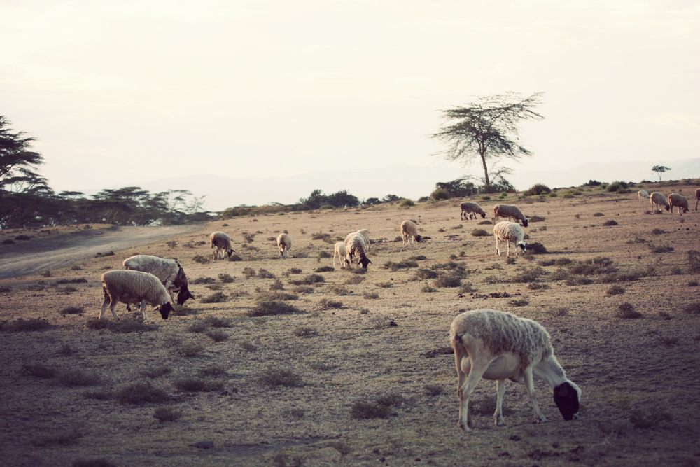 Day03_SOPA_Walking-Safari_Sheep.jpg