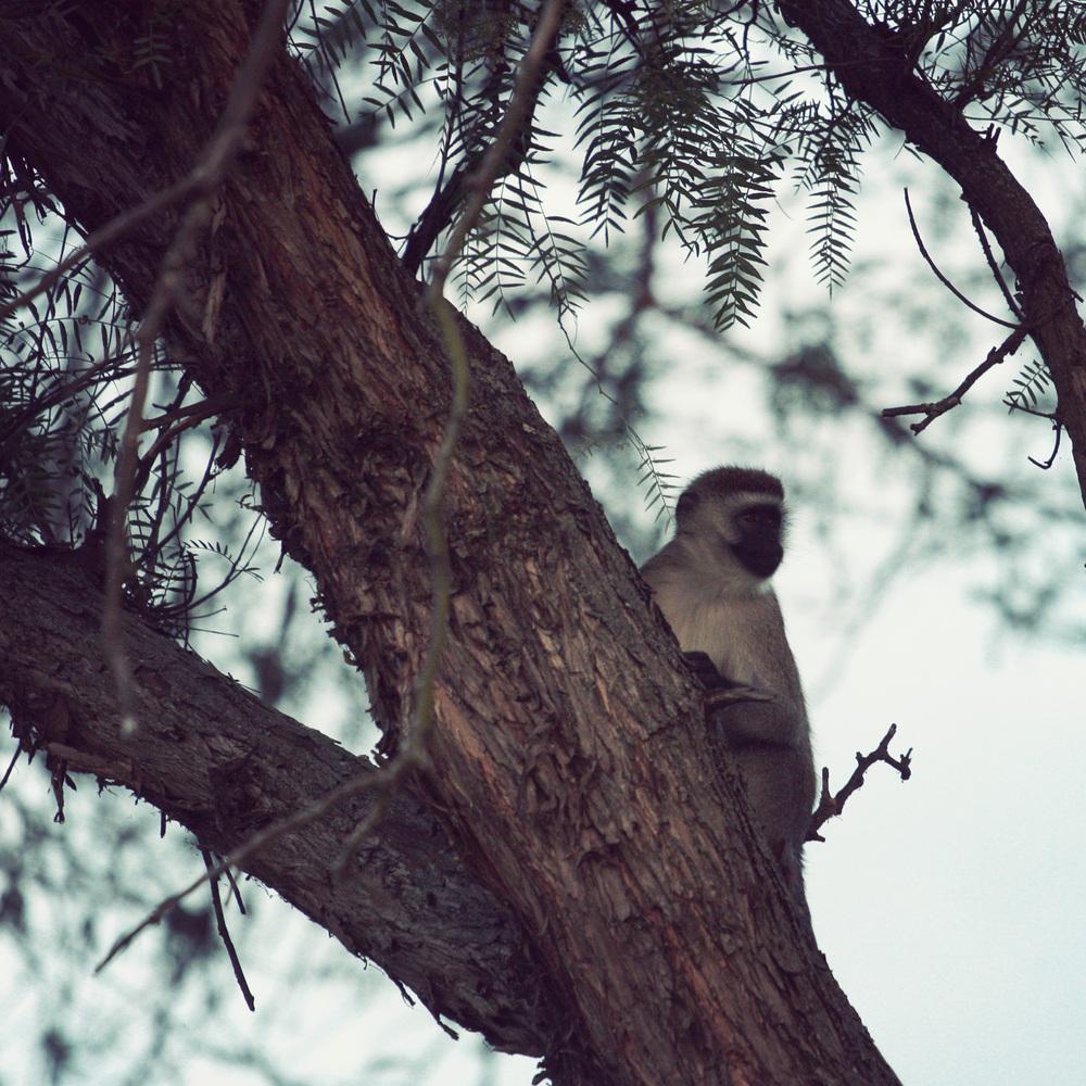 Day03_SOPA_Walking-Safari_Vervet-Monkey.jpg