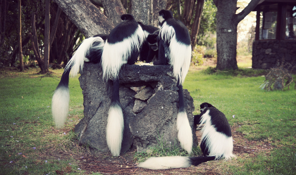 Day05_Colobus-Monkeys_01.jpg