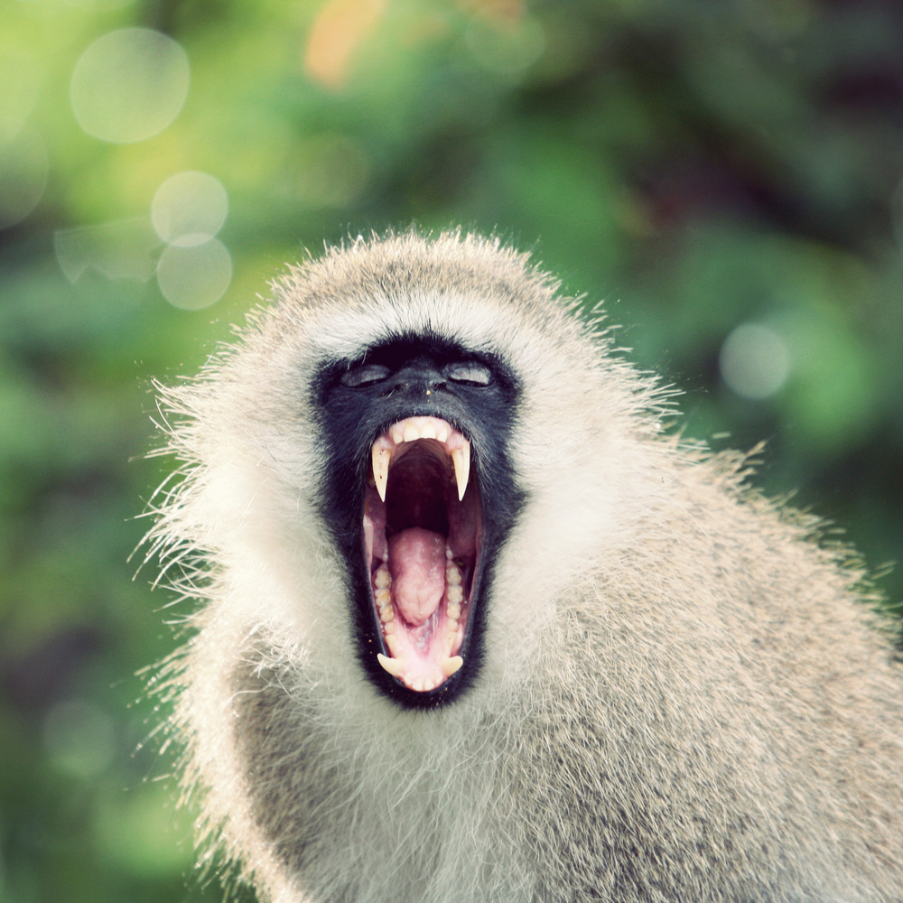 I'MA EAT YOU! Psych, I'm not the monkey from outbreak. Just yawning.
