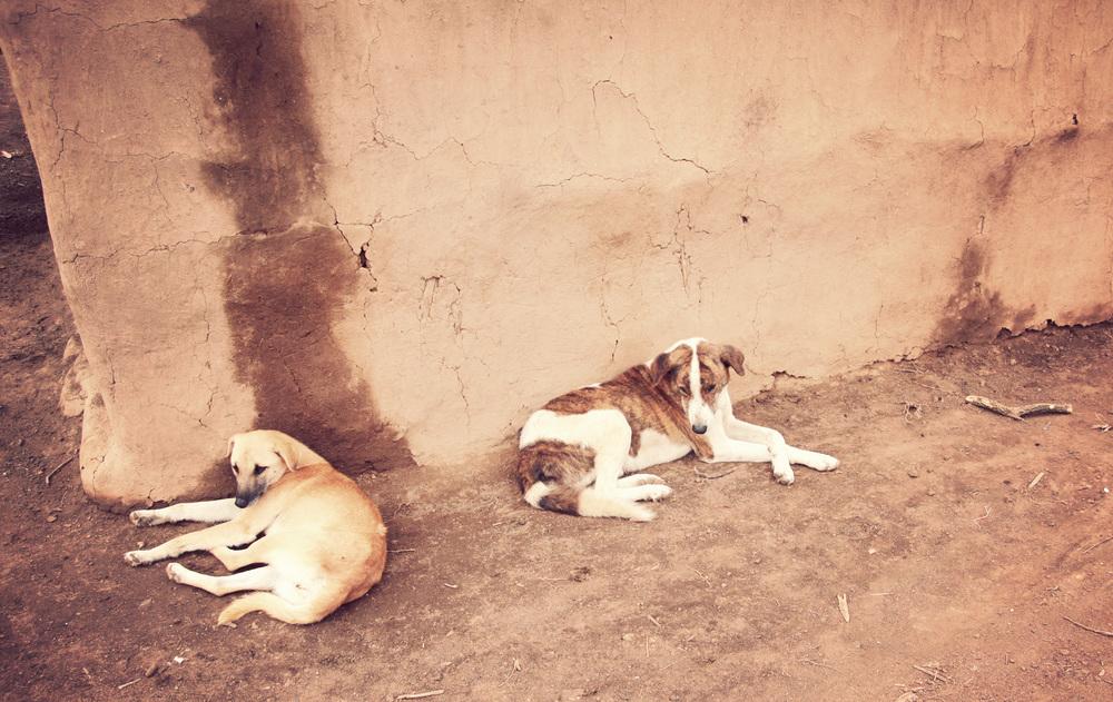 Maasai dogs