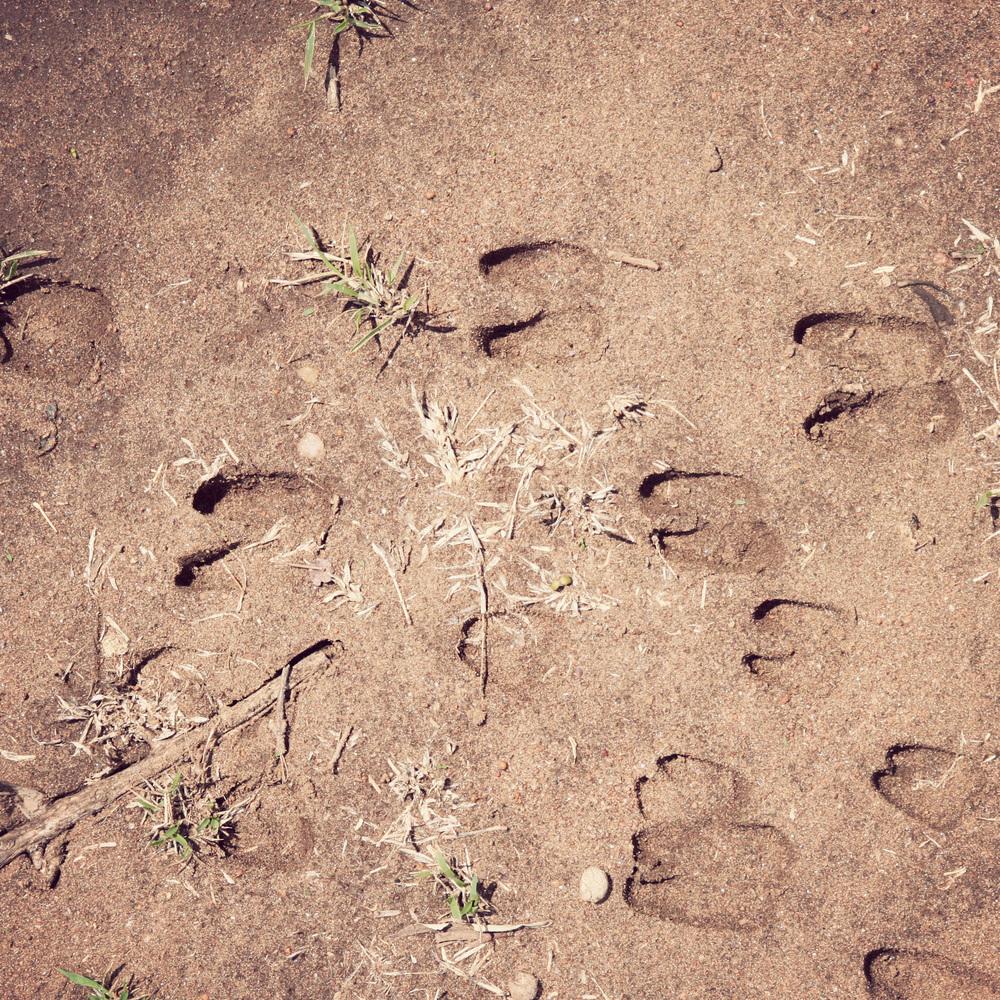 Gazelle prints