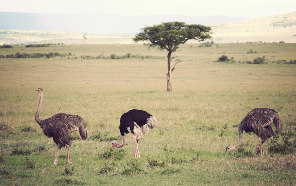 Day08_Ostriches.jpg