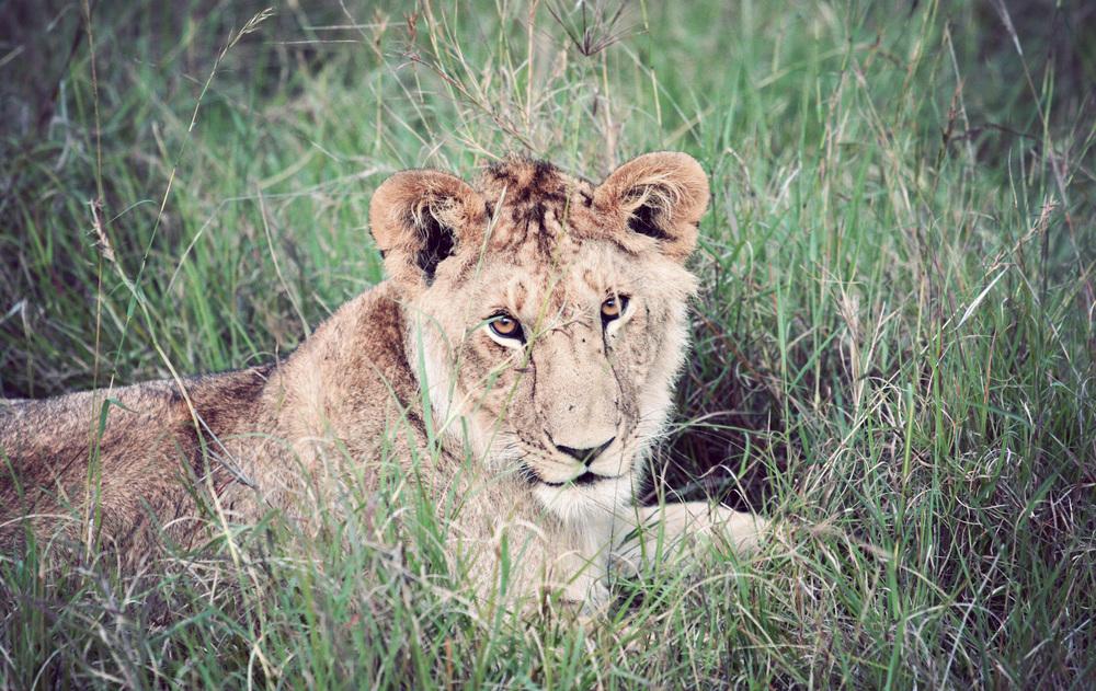 Day08_Lions_03.jpg