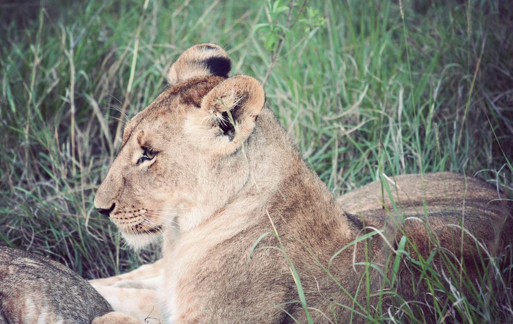 Day08_Lions_02.jpg