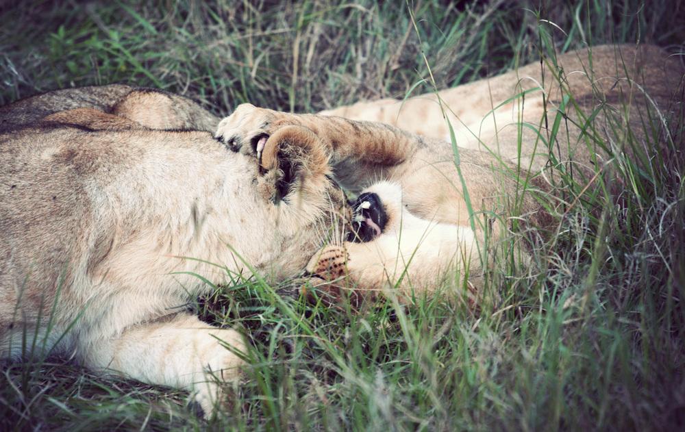 Day08_Lions_04.jpg