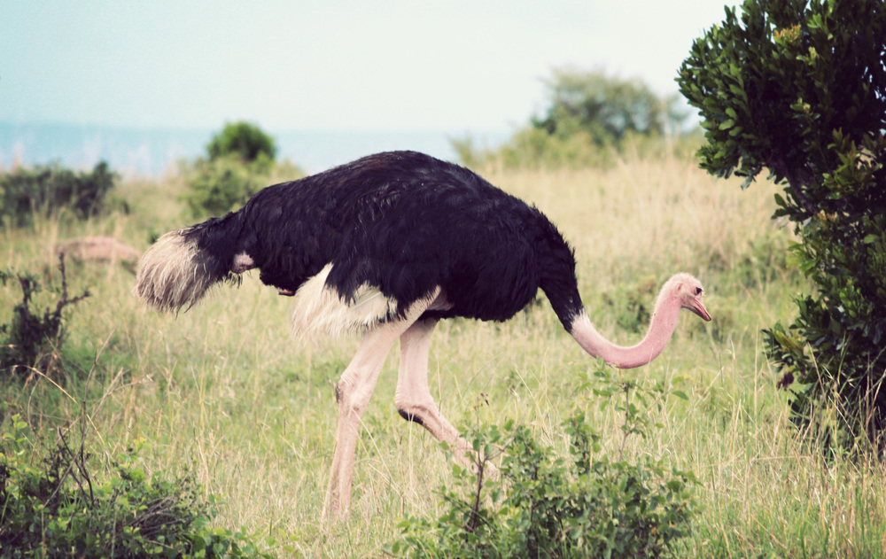 Getting closer to ostriches