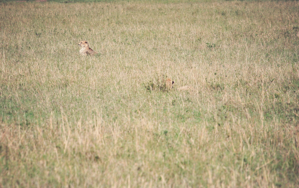 Two cheetahs hiding in the grass