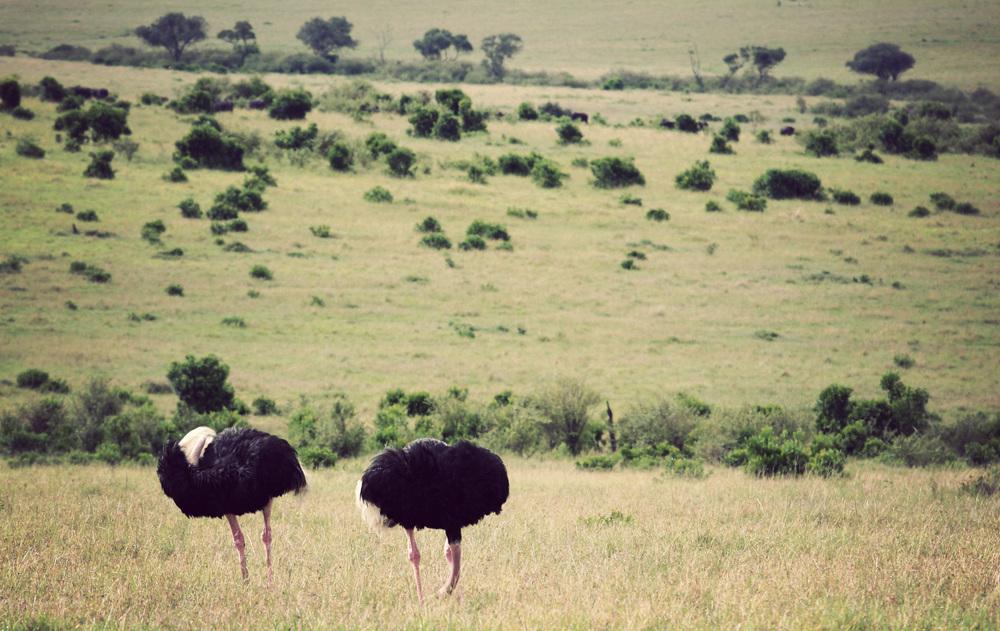 Day10_Ostriches_01.jpg