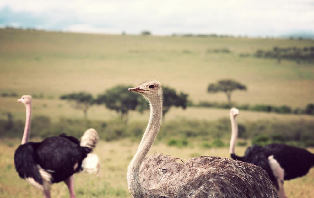 Day10_Ostriches_02.jpg