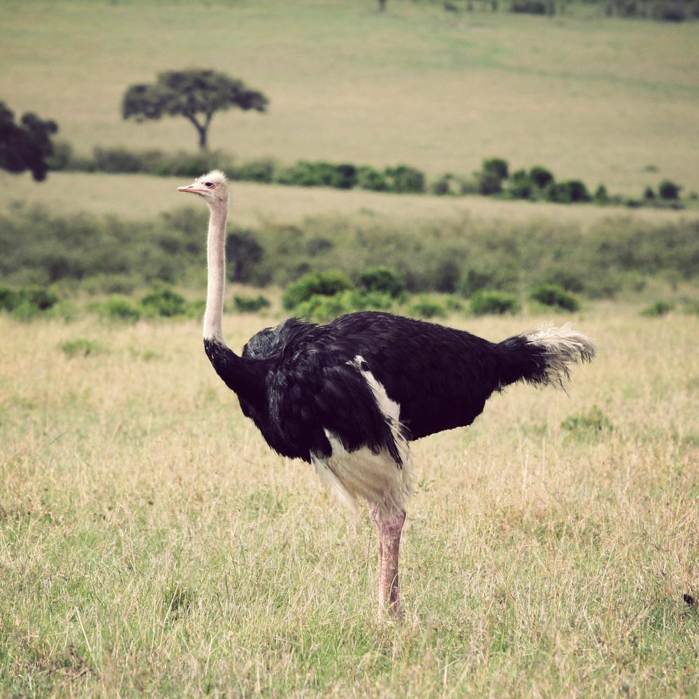 Day10_Ostriches_03.jpg