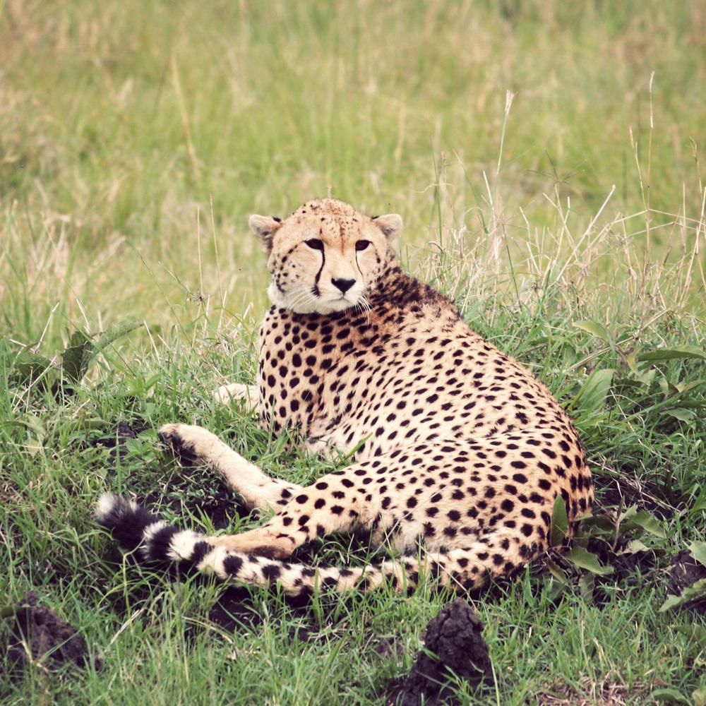 Day10_Cheetah_03.jpg