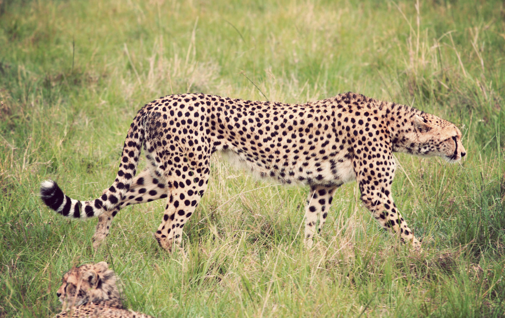 Day10_Cheetah_05.jpg
