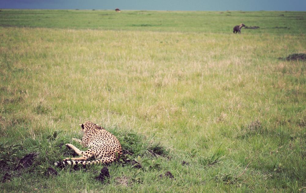 Cheetah mama crouches down while the hyena stalks past
