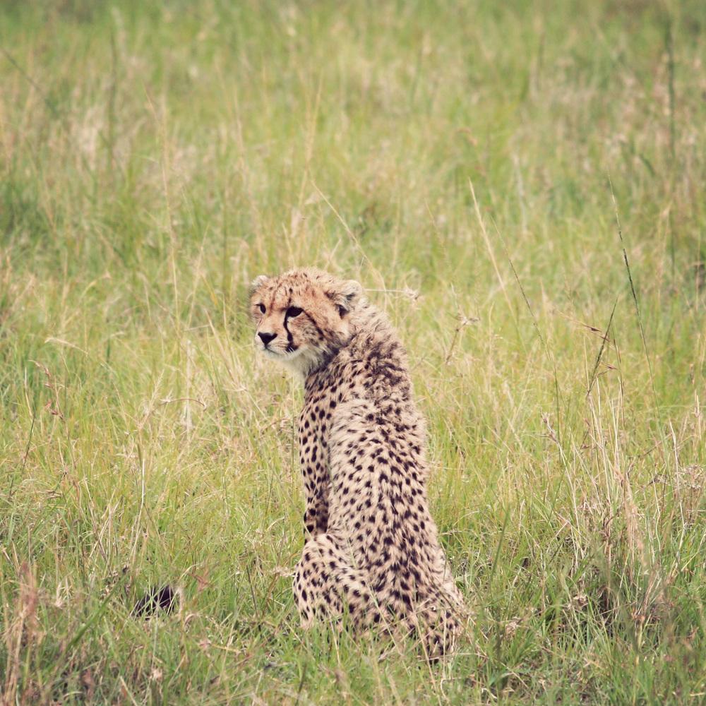 Day10_Cheetah_07.jpg