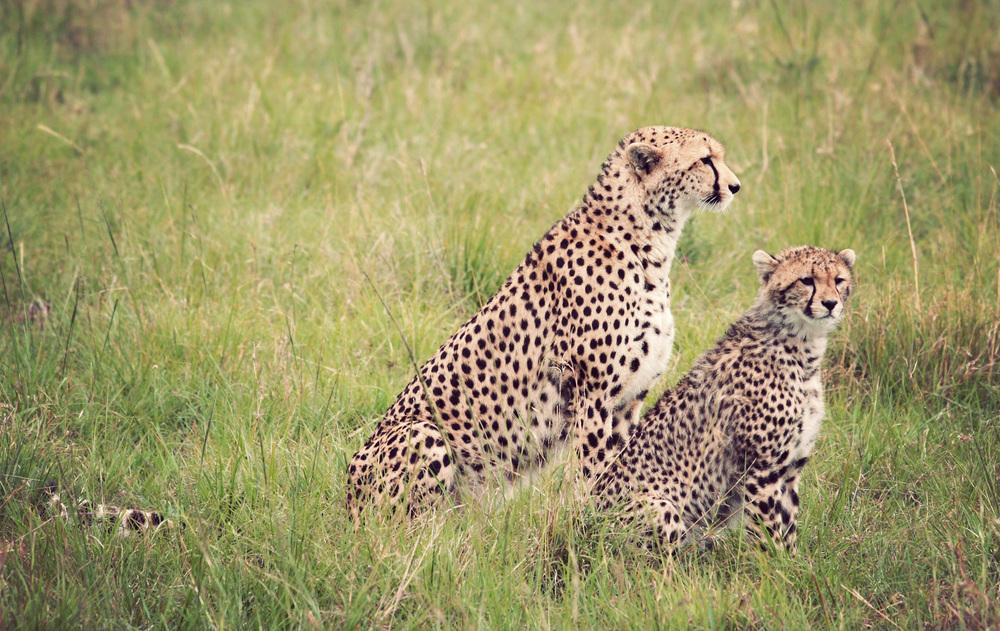 Day10_Cheetah_08.jpg
