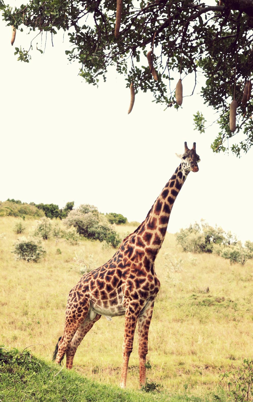 Day10_giraffe-sausage-tree_01.jpg