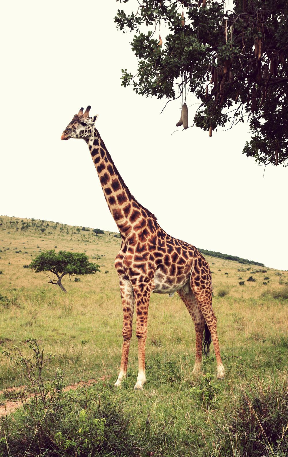 Day10_giraffe-sausage-tree_02.jpg