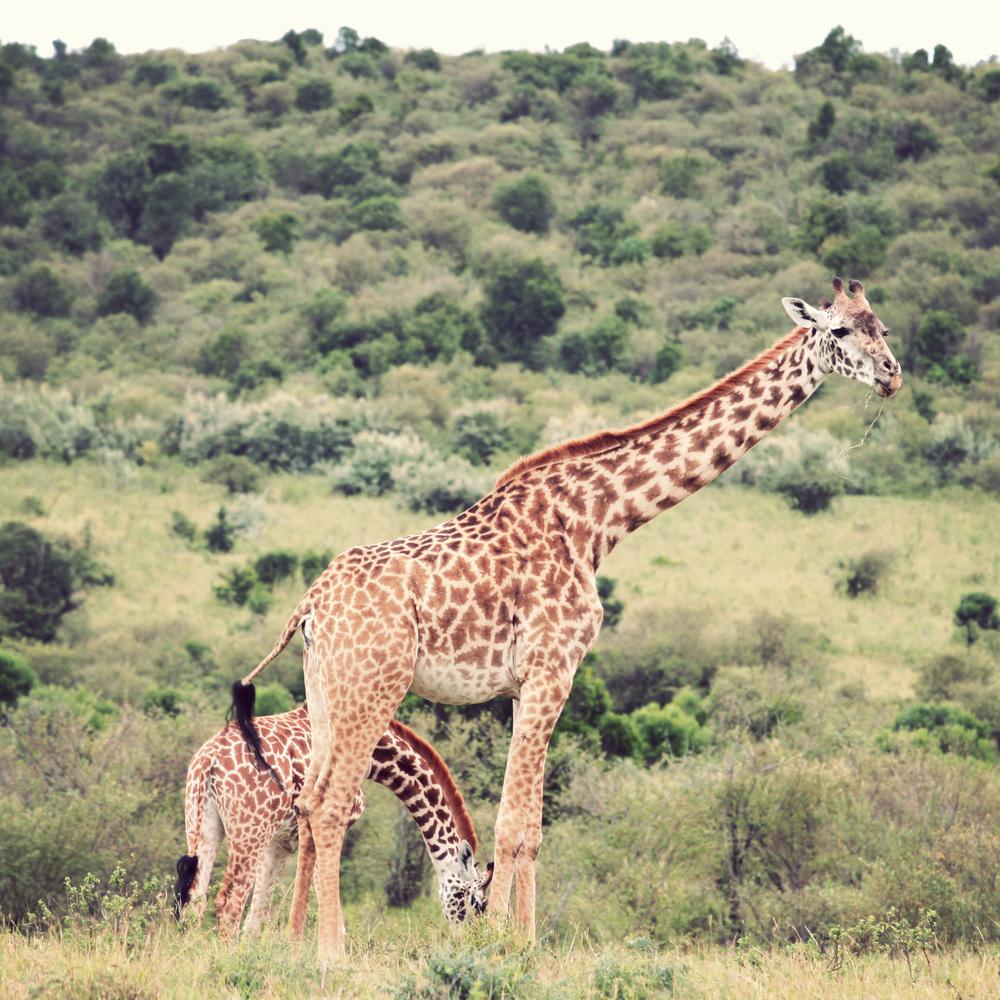 Day10_maasai-giraffes.jpg