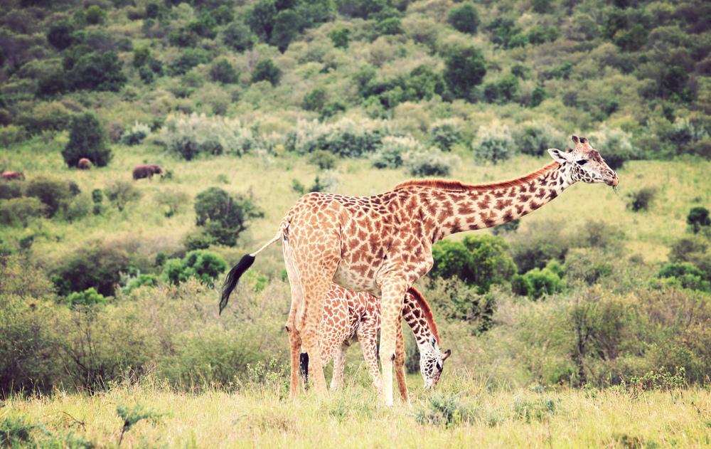 Day10_Maasai-Giraffes-and-Elephants.jpg