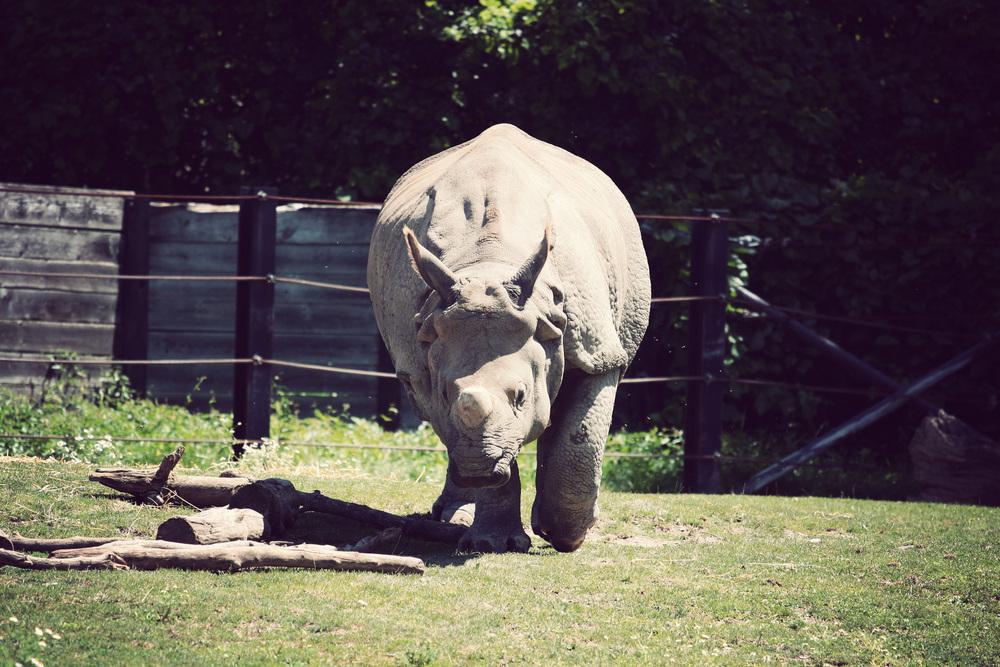 Indian-Rhino.jpg