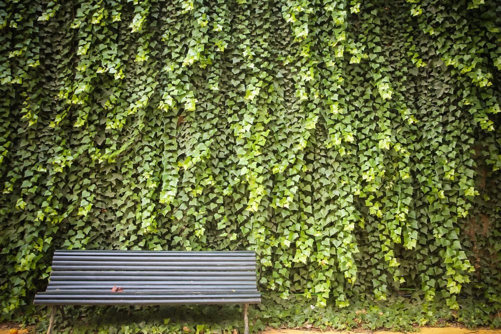 A wall of a very attractive type of hedera.