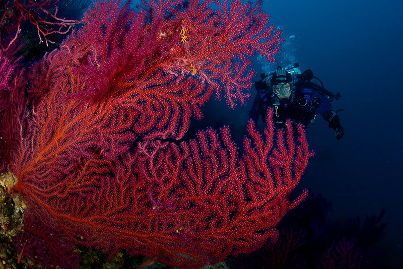 In front of a huge red gorgonian (Paramuricea clavata) in deep waters