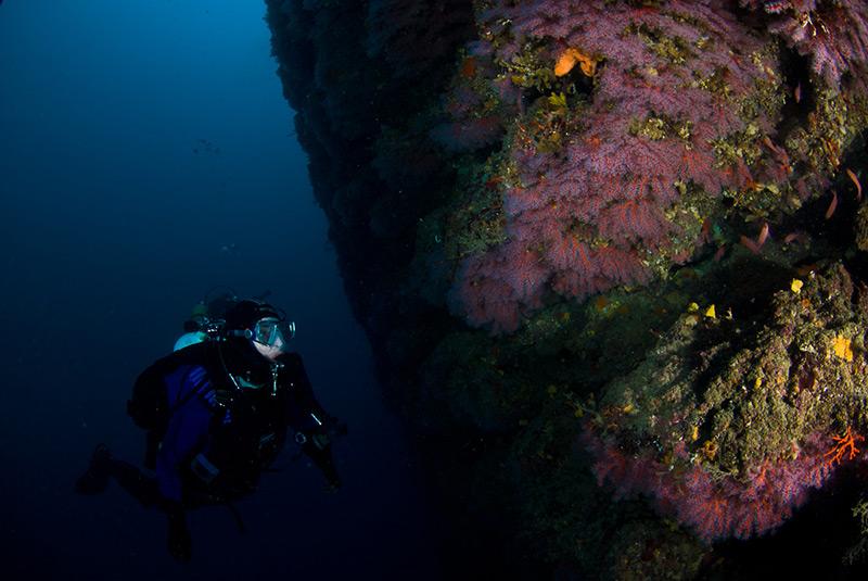 Exploring underwater crevices full of red coral (Corallium rubrum)