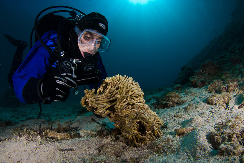 Examination of a dead colony of the Mediterranean pillow coral (Cladocora caespitosa)