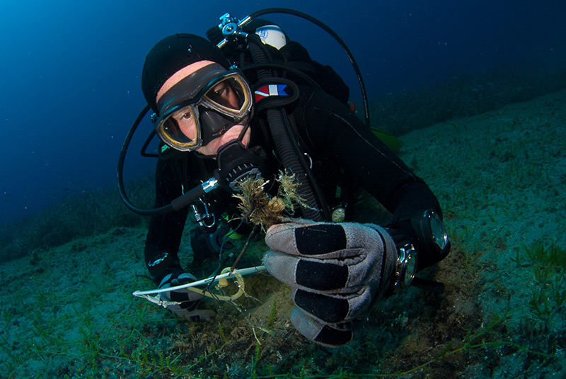 Close inspection of Neptune's grass (Posidonia oceanica) dead rhizomes found covered under a matte of Caulerpa racemoza invasive algae