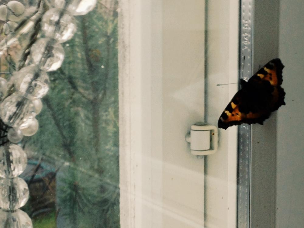Perhonen ikkunalla 16.12.2013