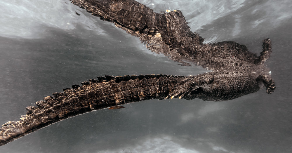 underwater_photography_alligator_florida.jpg